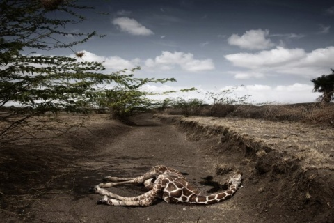 II Nagroda 53. edycji World Press Photo w kategorii: Contemporary Issues Singles, Stefano De Luigi, Italy, VII Network for Le Monde Magazine, Giraffe killed by drought, northeast Kenya, September