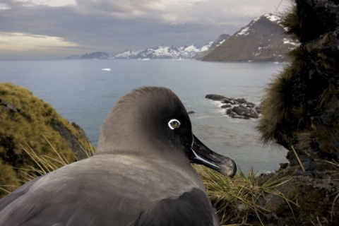 I Nagroda 53. edycji World Press Photo w kategorii: Nature Stories, Paul Nicklen, Canada, National Geographic, South Georgia, Antartica